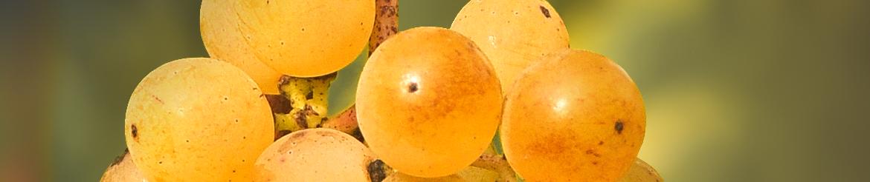Vino Bianco Biologico di Qualità prodotto in Toscana - Acquista Online