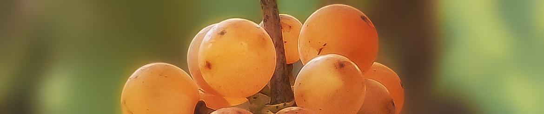 """Vino Dolce Biologico """"Passito"""" prodotto in Toscana - Acquista Online"""