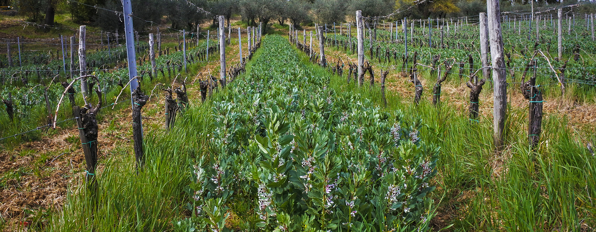 Vicia Faba bean plants at work in our organic vineyards