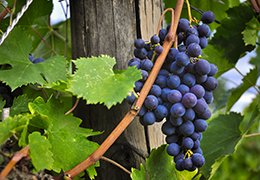 "Sangiovese, The ""King"" of Tuscan grapes"