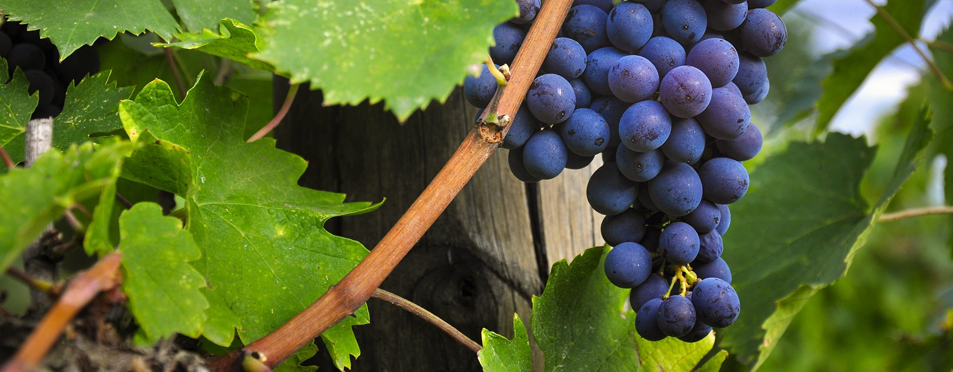 """Sangiovese, The """"King"""" of Tuscan grapes"""